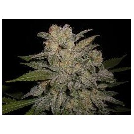Semillas Northern Lights Auto a Granel