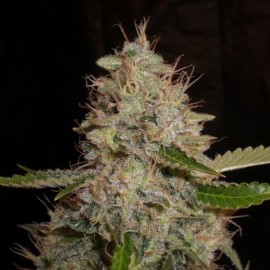 White Widow x Critical Granel