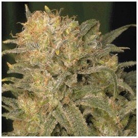 Semillas Black Domina x Chronic a Granel