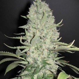 Semillas White Widow a Granel