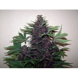 Semillas Purple Auto a Granel