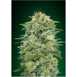 Semillas White Widow CBD a Granel